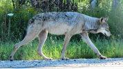 Female gray wolf. (Seney Natural History Association/Wikimedia Commons)
