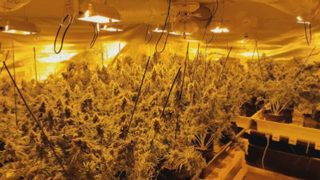 1,200+ marijuana plants seized from grow houses in Newcastle, Renton