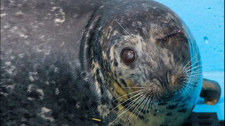Pregnant seal shot in head in San Juans rescued by deputies