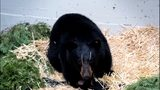 VIDEO: PAWS Wildlife Center, partners help save black bear hit by car