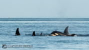 Photo credit Pacific Whale Watch Association