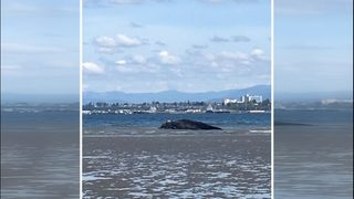 Necropsy: Gray whale found in Everett died of starvation