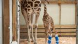 VIDEO: Baby giraffe gets custom made shoes