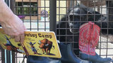 VIDEO: Chimpanzee sanctuary hoping to expand and provide homes for more animals