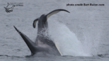VIDEO: Transient orcas seen feeding on gray whale south of Whidbey Island