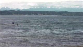 RAW VIDEO: Killer whales seen close to shore at Richmond Beach
