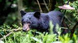VIDEO: Bear popping up across Bainbridge Island