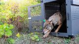 In this Sept. 26, 2018, file photo, provided by the National Park Service, a 4-year-old female gray wolf emerges from her cage as it released (National Park Service via AP, File)