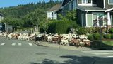 VIDEO: Goats loose in Issaquah