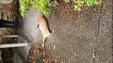 VIDEO: Fawn shot, killed on Mercer Island