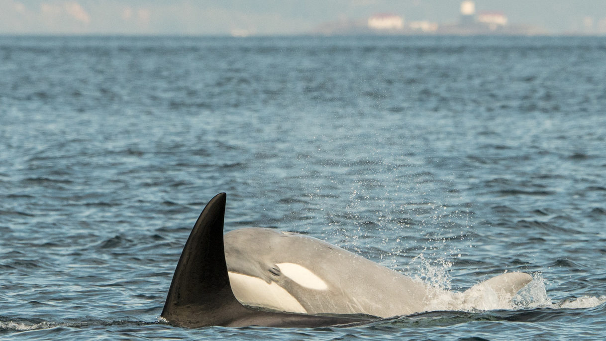 PHOTOS: Whales spotted in Puget Sound this weekend