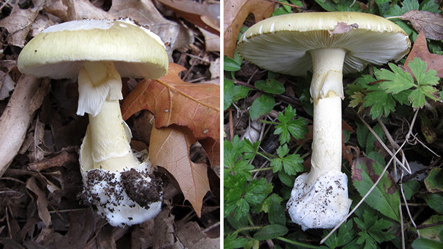 UW alert: Don't eat highly toxic mushrooms found on campus